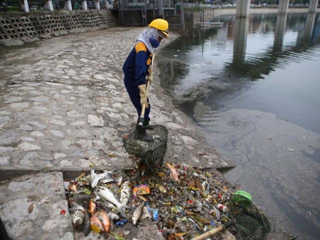 Hà Nội: Cá chết trắng hồ Hoàng Cầu, vớt mãi không hết