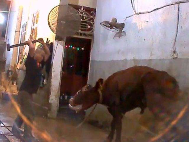 Úc lên án người Việt giết bò bằng búa tạ quai vào đầu