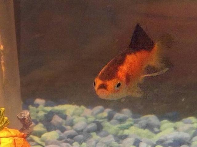 Cá vàng nổi tiếng vì giống trùm phát xít Hitler