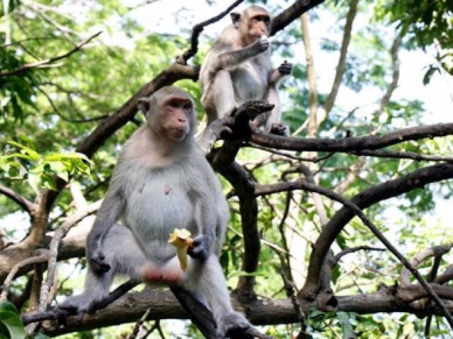 Chuyện kỳ lạ về đàn khỉ nương náu ngôi chùa ở Vũng Tàu