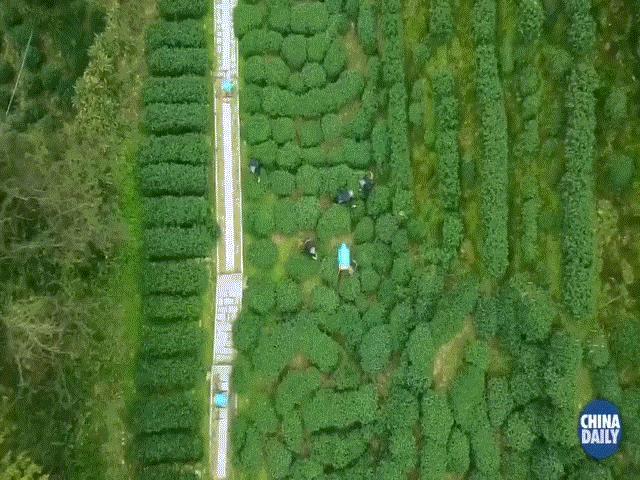 Xem máy bay không người lái Trung Quốc chuyển trà trên núi về thành phố