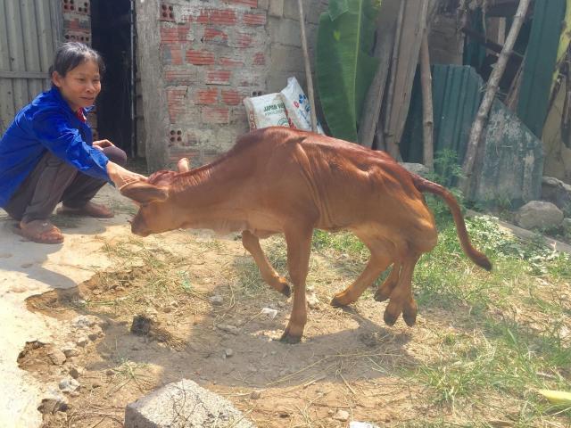 Chuyện lạ con bê có 6 chân ở Hà Tĩnh