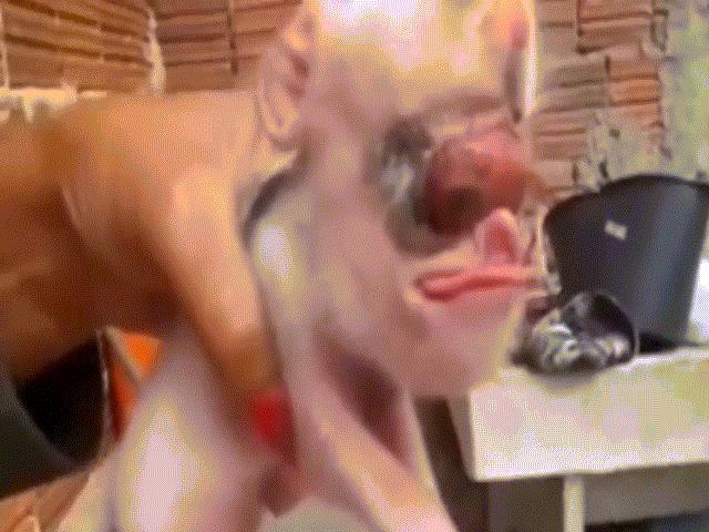 """Internet """"sốc"""" với con lợn thân cừu, đầu chuột, lưỡi… người"""