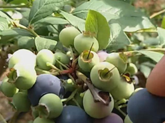 """Thích ăn """"quả quý tộc"""" bèn về quê tự trồng, vừa ăn vừa bán, kiếm được vài trăm triệu/năm"""