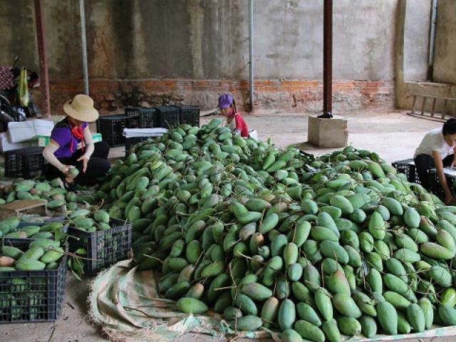Mường La: Mỗi ngày bỏ túi 6 triệu nhờ bán xoài sang Trung Quốc