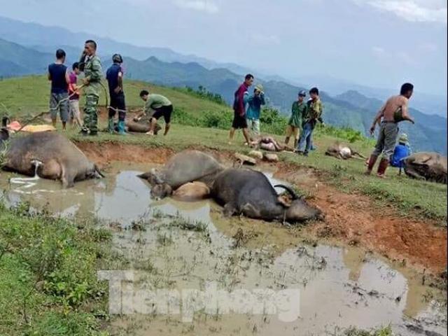 9 con trâu chết cùng lúc trên đỉnh đồi bởi hiện tượng tự nhiên