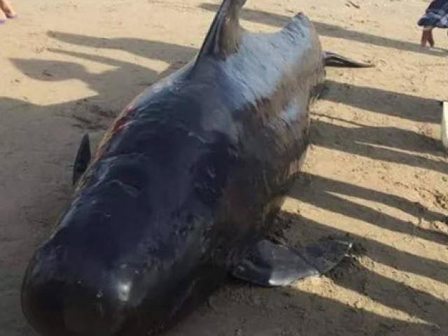 Cá voi dài 4m, nặng gần 1 tấn chết dạt vào bờ biển khu vực sân golf