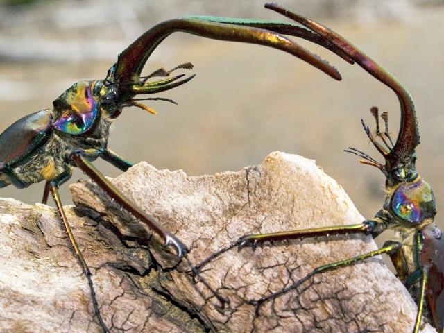 Bọ cánh cứng hất văng bạn tình sau khi giao phối từ độ cao hàng chục mét