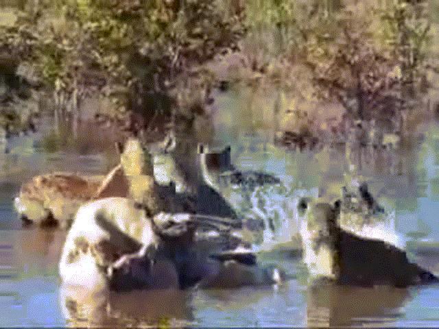 Video: Đang mở tiệc trên sông, linh cẩu bị sư tử đoạt mạng trong chớp mắt