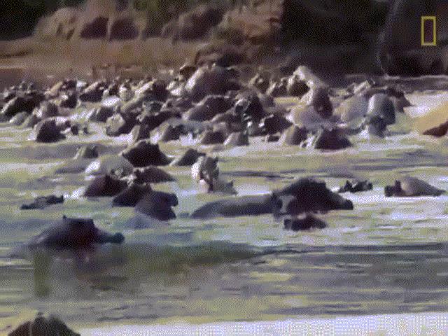 """Video: Mạo hiểm săn con non, cá sấu bị cả đàn hà mã """"đánh hội đồng"""""""