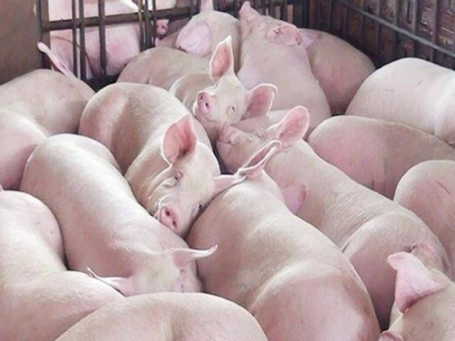 Giá thịt lợn hôm nay 2/5/2020: Tiếp đà tăng, xuất hiện dịch tả lợn châu Phi