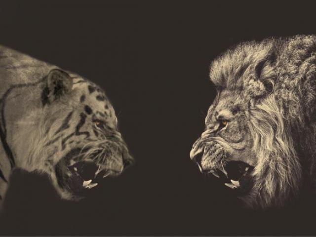 Mãnh hổ một mình kịch chiến với cặp đôi sư tử