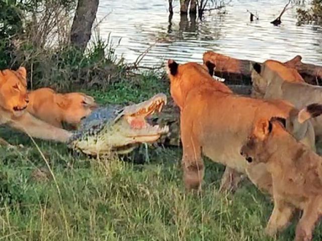 Cá sấu lên bờ tung cú đớp khiến năm con sư tử giật mình và cái kết