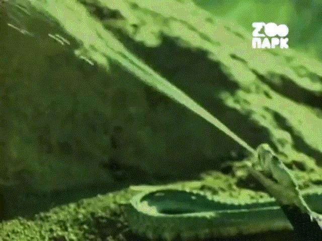 """Video: Bị hổ mang phun nọc độc, kỳ đà tung """"vũ khí bí mật"""" giết chết kẻ thù rồi ăn thịt"""