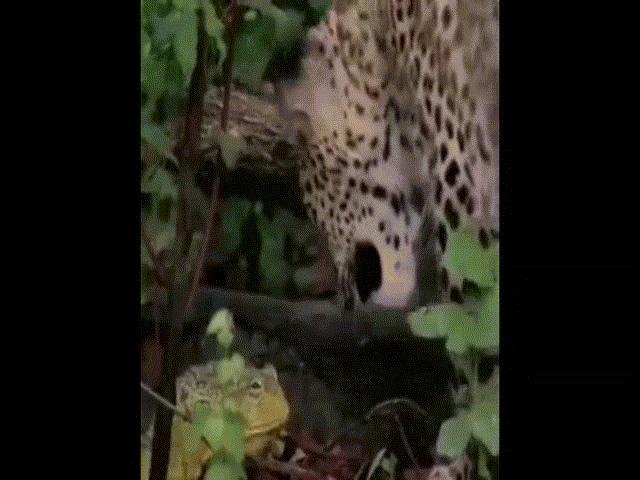 Video: Ếch nhỏ bé đánh đuổi báo hoa mai khiến người xem kinh ngạc
