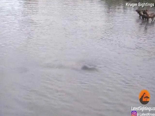 """Video: Đàn chó hoang và linh cẩu xâm phạm lãnh địa, hà mã """"dằn mặt"""" cực gắt"""