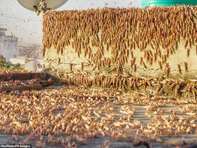 """Kinh hãi cảnh hàng triệu con châu chấu tràn ngập ở Ấn Độ như """"tận thế"""""""
