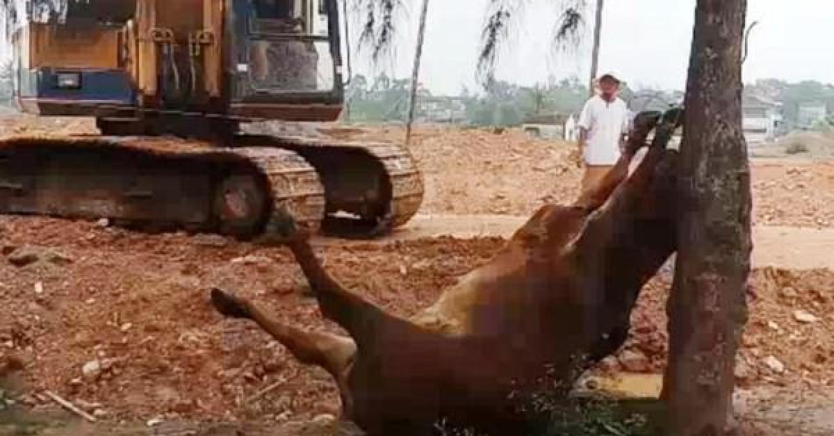 Hai người đàn ông lạ mặt xuất hiện, 4 con bò bỗng lăn ra chết bất thường