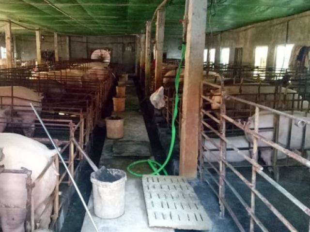 """Từng thua lỗ tiền tỷ vì nghề nuôi lợn nái, nay """"nổi nhất vùng"""" vì giá lợn cao chót vót"""