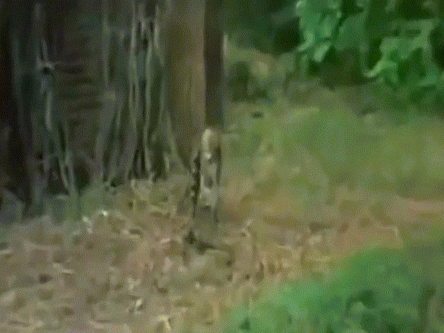 """Video: Bị khỉ """"trêu ngươi"""", rắn hổ mang chúa tấn công điên cuồng và cái kết"""