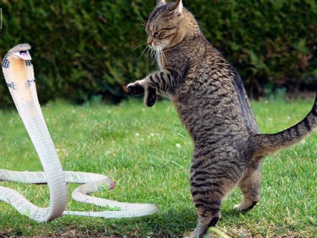 """Cận cảnh chú mèo dùng """"võ thuật"""" đối phó rắn hổ mang"""