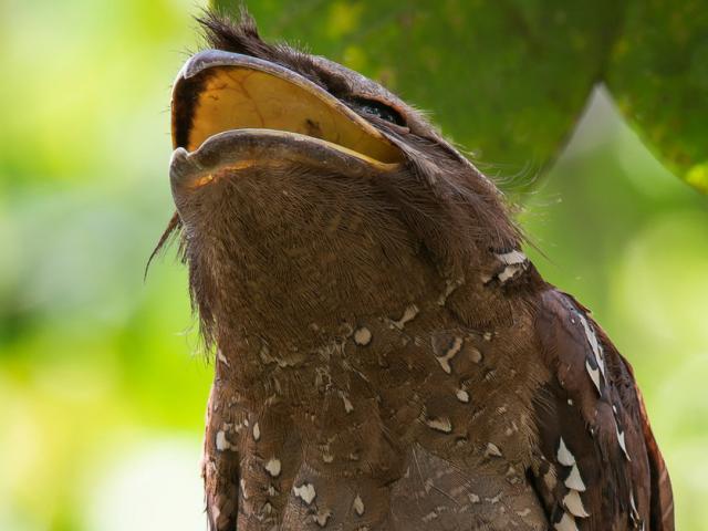 """Chim kỳ lạ sở hữu chiếc mồm giống loài ếch, """"bậc thầy"""" ngụy trang"""