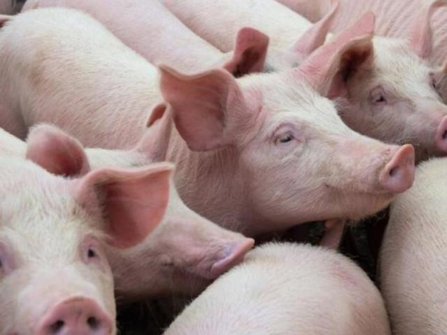 Giá thịt lợn hôm nay 11/6: Lợn hơi tiếp tục giảm, miền Bắc hỗn loạn giá