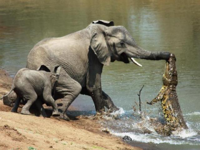 Cá sấu cả gan định ăn thịt voi rừng và cái kết