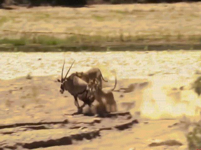 Video: Hùng hổ ăn linh dương, sư tử bị chính con mồi đuổi ngược lại phải chạy trối chết