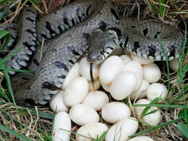 """Trứng rắn luộc, món ăn nghe tên đã thấy """"kinh dị"""", ăn lại thấy ngon đến ngỡ ngàng"""