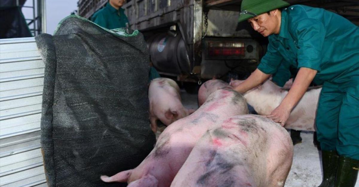 Dịch tả lợn Châu Phi tái phát, lợn hơi trong nước tiếp tục lập đỉnh?