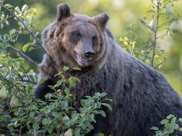 Gấu nâu bị kết án tử