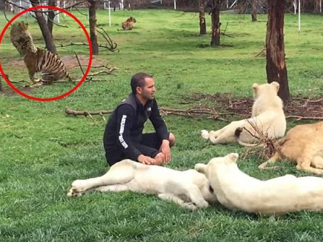 Video: Hổ cứu nhân viên vườn thú khỏi bị báo tấn công