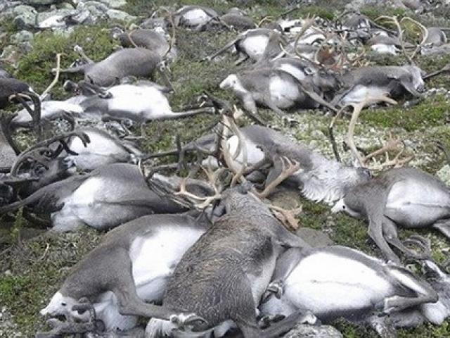 Ảnh: 300 con tuần lộc bị sét đánh chết la liệt ở Na Uy