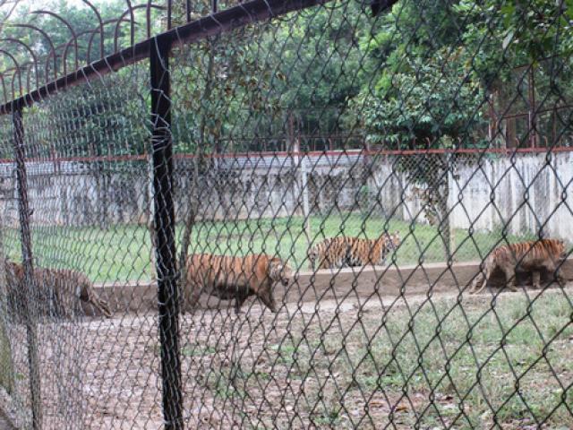 Nuôi nhốt 11 con hổ hoang dã giữa khu dân cư