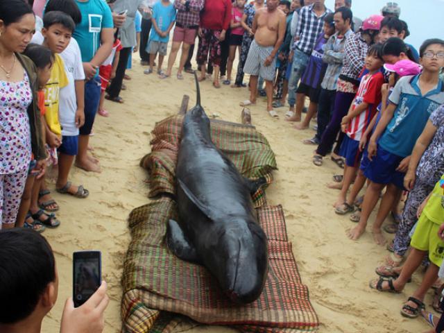 Cá ông 700kg dạt bờ, vẫn còn thở sau 2 ngày cúng tế