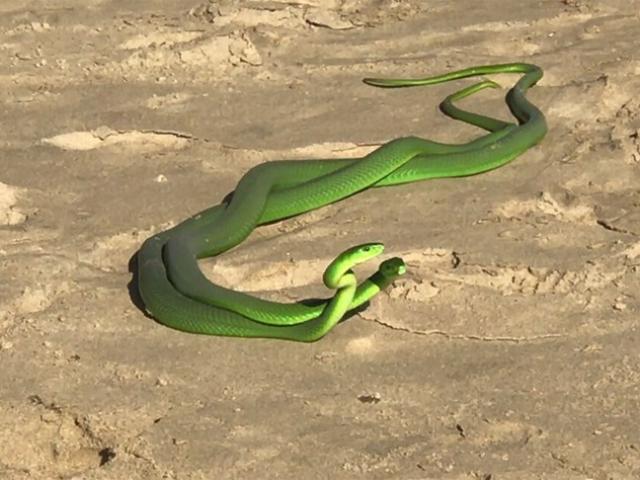 """Cặp rắn xanh kỳ quái cực độc quyết chiến giành """"mỹ nhân"""""""