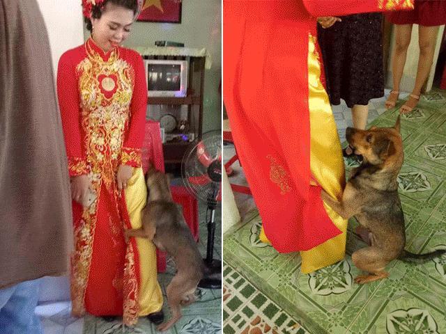 Biết cô chủ sắp đi lấy chồng, chú chó liên tục ôm chân níu kéo