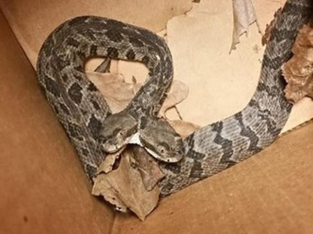 Thợ điện hốt hoảng phát hiện rắn đuôi chuông hai đầu trong nhà dân