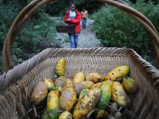 Loại dưa mọc dại trong rừng, nhìn như quả xoài, giá gần 300.000 đồng/kg