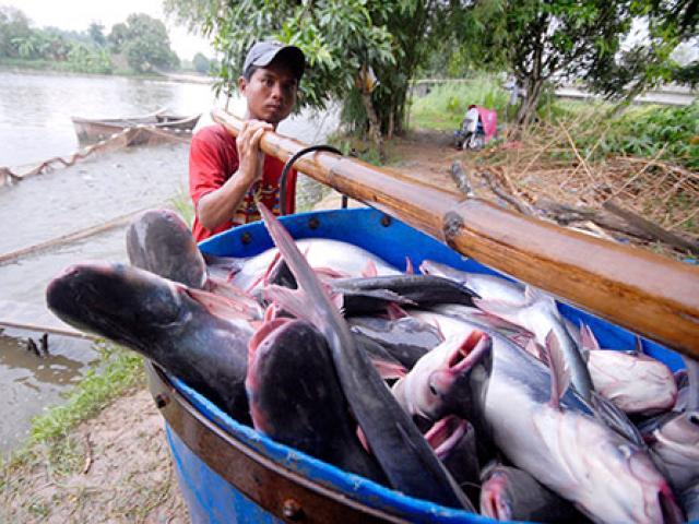 Giá cá tra thấp nhất trong vòng 10 năm, nông dân lỗ nặng