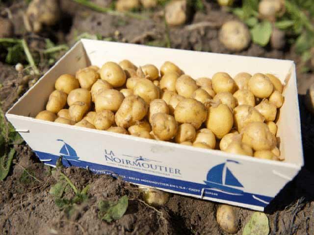 Giống khoai tây đắt nhất thế giới giá 20 triệu/kg có gì đặc biệt?
