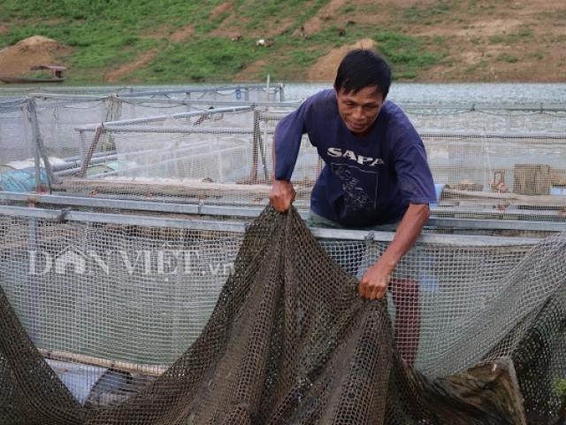 Xuống sông Đà nuôi nhốt cá, chỉ tốn cỏ voi, lá chuối mà có tiền to