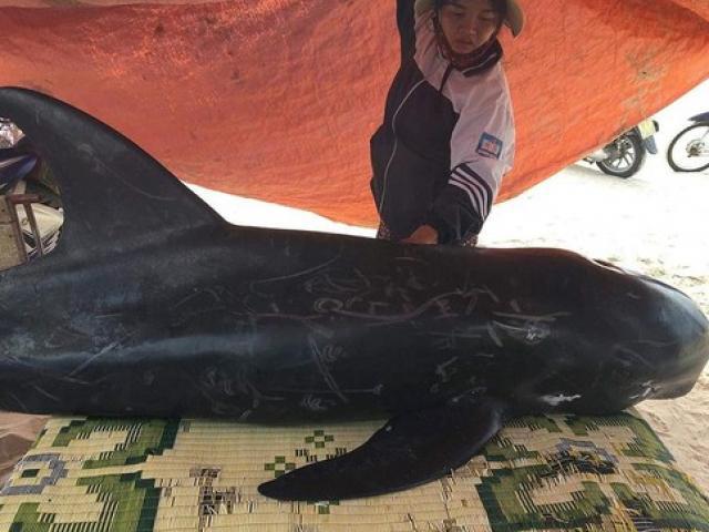 Cá voi dài 2m, nặng 150kg trôi dạt vào bờ biển Hà Tĩnh