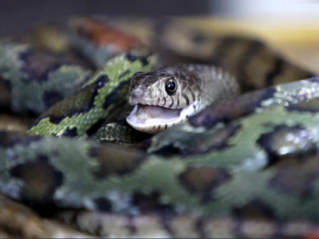 Ngôi làng rắn nhiều gấp 5.000 số dân, cả làng thành triệu phú nhờ nuôi rắn