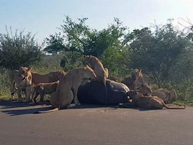 """Trâu rừng bị sư tử mẹ """"làm mẫu"""" cho sư tử con săn mồi"""