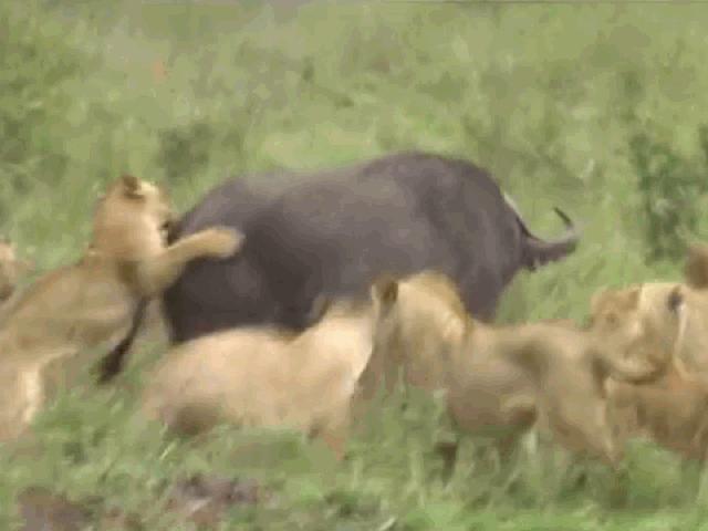 """Bị bầy sư tử hơn chục con xâu xé, trâu rừng phản đòn quyết liệt và màn """"lật kèo"""" khó tin"""