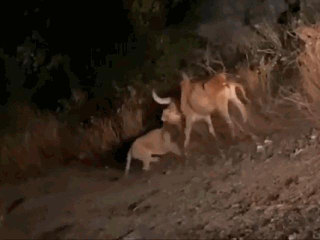 Sư tử ngoạm cổ trâu rừng kéo vào bụi rậm và cái kết buồn