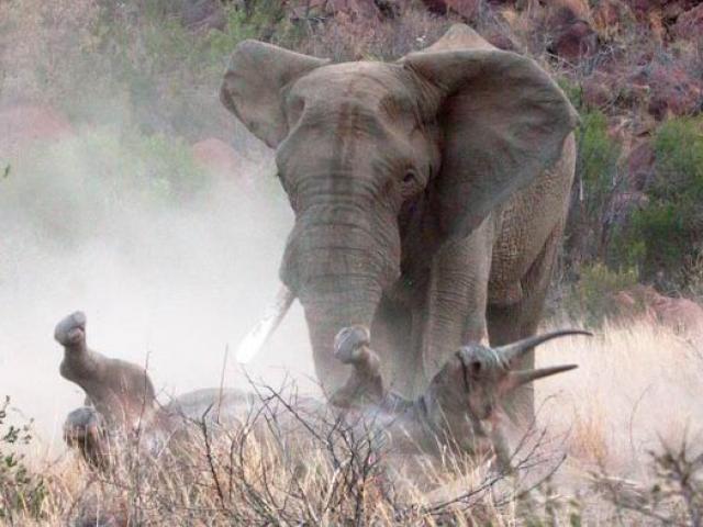 """Tê giác trắng nặng 2 tấn suýt mất mạng vì bị voi khổng lồ """"bắt nạt"""""""