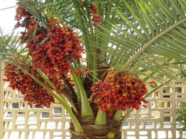 Loại quả giới nhà giàu Dubai thường ăn, ở Việt Nam cũng trồng được
